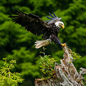 Bald Eagle in Tongass National Forest.  Landscape Photograpy by Alex Wilson.