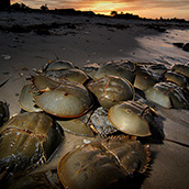 Horseshoe crabs spawning at Slaughter Beach on the Delaware Bay.  Wildlife Photograpy by Alex Wilson.