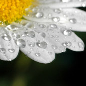 Daisy with water droplets.  Macro Photograpy by Alex Wilson.