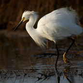 Snowy Egret photographed in the Prime Hook National Wildlife Refuge near Fowler Beach, Delaware.  Wildlife Photograpy by Alex Wilson.