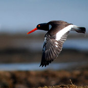 Oystercatcher, photographed at Fowler Beach on the Delaware Bay.  Wildlife Photograpy by Alex Wilson.
