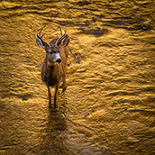 A mule deer wades in the Virgin River at Zion National Park in southwest Utah.  National Park Photograpy by Alex Wilson.